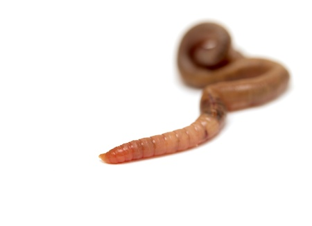 squirm: Close  up of earthworm Stock Photo