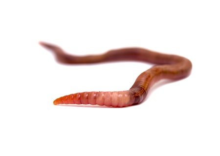 wigglers: Close  up of earthworm Stock Photo
