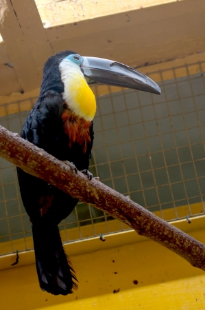 channel billed toucan Stock Photo - 20155034