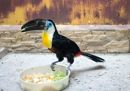 channel billed toucan photo