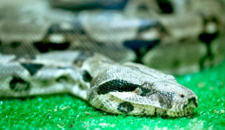 pythons: pythons head