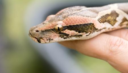 pythons head