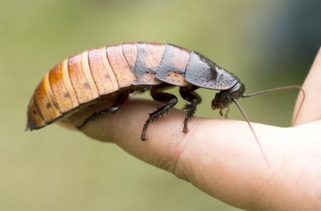 マダガスカルの音を立てるゴキブリ (Gromphadorhina portentosa)