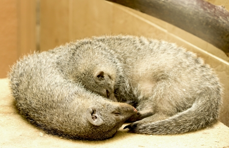 mongoose: Dwarf Mongoose - Helogale parvula, zoo