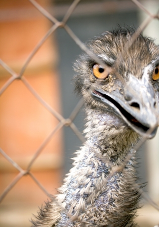 Portrait of an emu, the largest  bird Stock Photo - 20155684