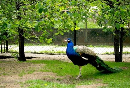 Colourful peacock walking with its tail closed and in profile photo