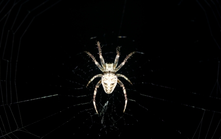 segmentata: spider on the web Stock Photo