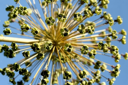 Seeds of a decorative onions allium, in the blue sky photo