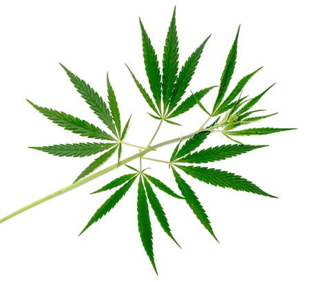 Cannabis plant isolated on a white background photo
