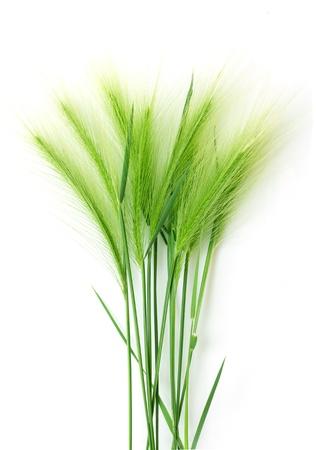 白い背景の上の緑の麦の穂