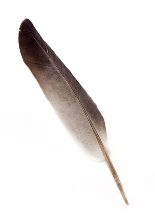 pigeon feather on a white background