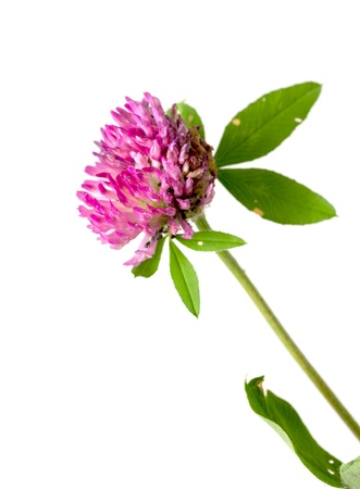 Clover flowers on a white background photo