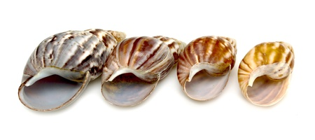 ossified: sea shell closeup isolated on white