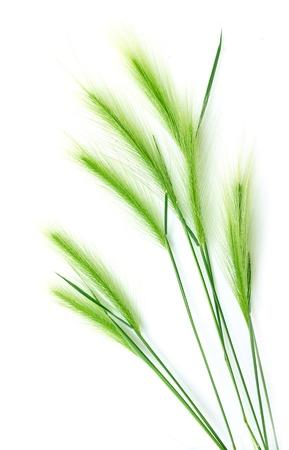 白い背景の上の緑の小麦の耳
