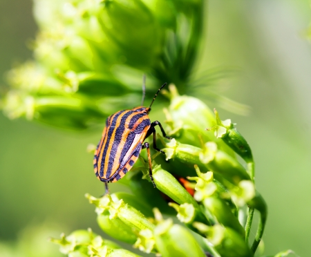 prasina: side of wild fly hemiptera Nezara Virdula Heteroptera pentatomidae palomena prasina on a green leaf Stock Photo