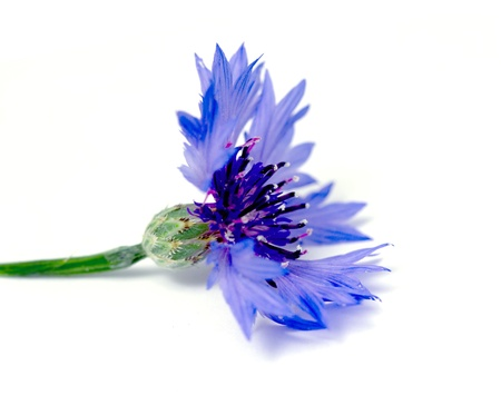 bachelor s button: Knapweed flower on white Stock Photo