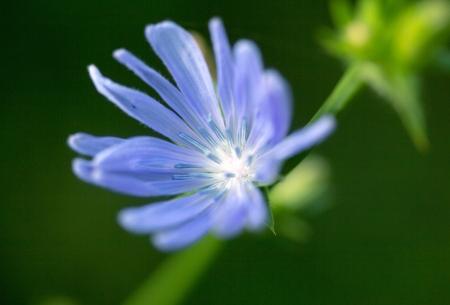 chicory flower: blue chicory flower