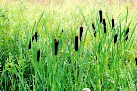 bullrush: Cattails growing beside a small stream Stock Photo