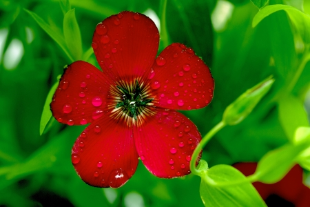 linum: Red flax (Linum grandiflorum)