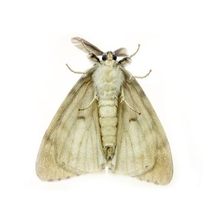 White Anthelidid Moth, Anthela callileuca,  isolated on white