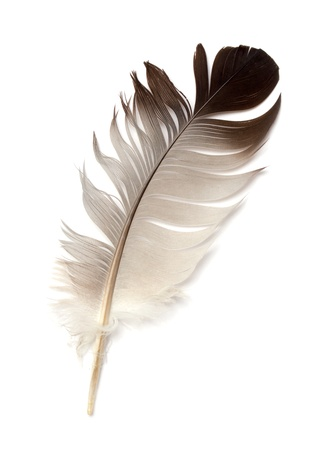 feathers: Feather isolated on the white background