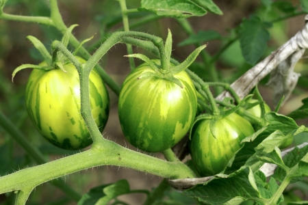 green tomatoes growing on the branches. It is cultivated in the garden. photo