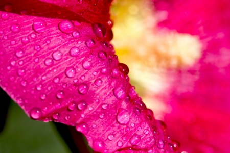 wallpaper for your desktop. water drops on flowers mallow close-up photo