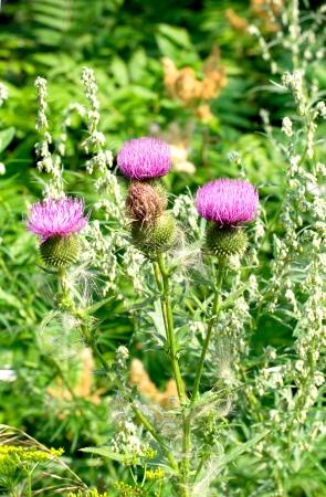 thorny: Burdock thorny flower. (Arctium lappa) on green blur background