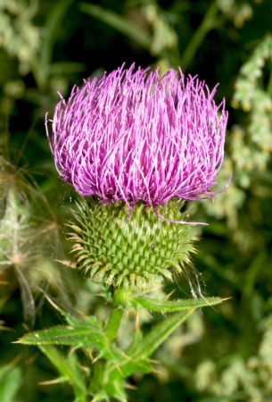 Burdock thorny flower. (Arctium lappa) on green blur background photo