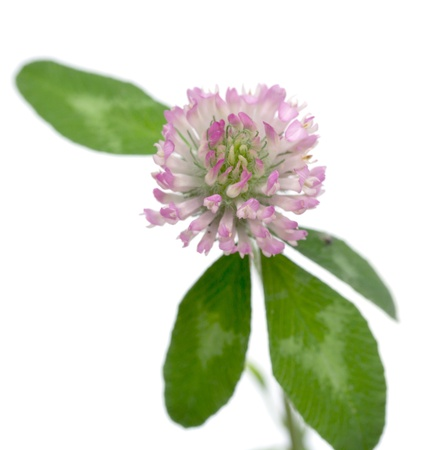 clover flower on a white background photo