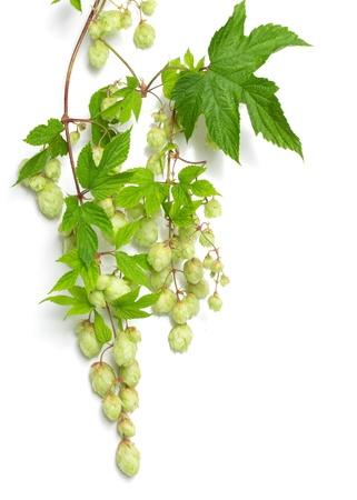 branch of hops on a white background Foto de archivo