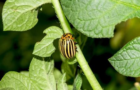 shortfall: Colorado beetle