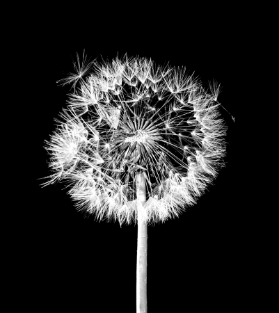 black and white: Dandelion flower on black background