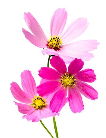 Beautiful Cosmos Flower isolated on white background photo