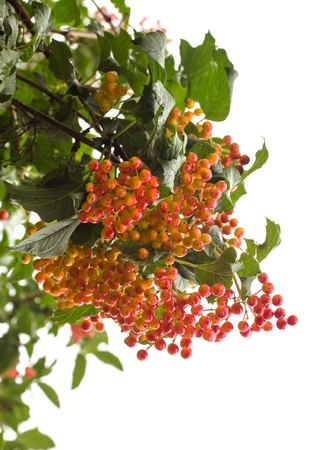 sorbus: Rowanberry Tree (Sorbus Aucuparia)