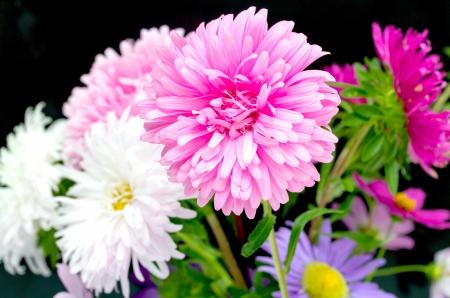 aster flower photo