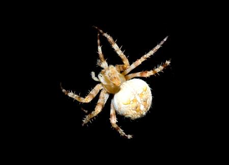 European garden spider, Araneus diadematus photo