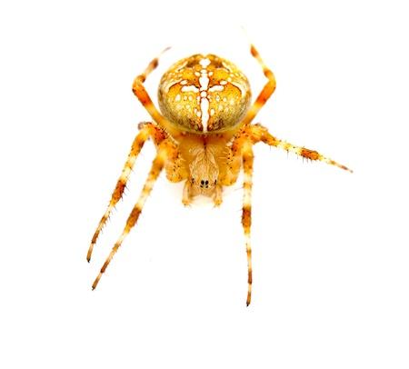 Garden spider on the white background, (Araneidae) photo