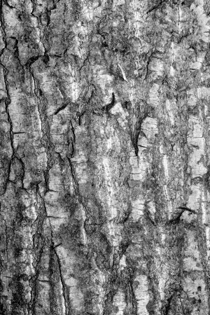 Old rough tree bark background texture Stock Photo - 21905753