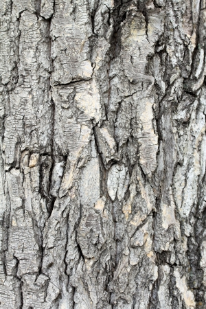 bark background: Old rough tree bark background texture