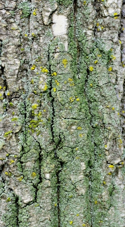 Old rough tree bark background texture Stock Photo - 21905812