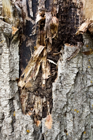 bark background texture: Old rough tree bark background texture
