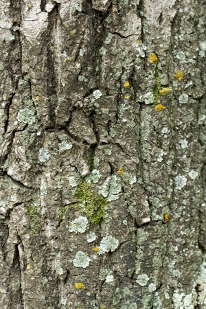 Old rough tree bark background texture Stock Photo - 21905853