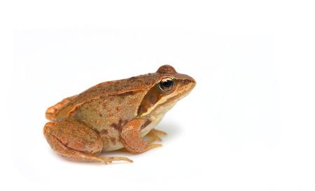 Frog - Rana temporaria on white background