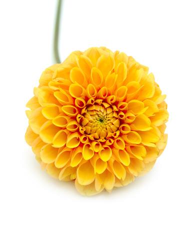 白い背景上に分離されて黄色の菊