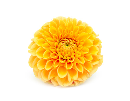 yellow chrysanthemum isolated on white background photo