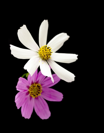 chamomile flower isolated on black background with clipping path Stock Photo - 22209766