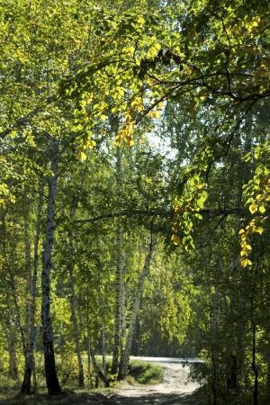 birch forest landscape photo