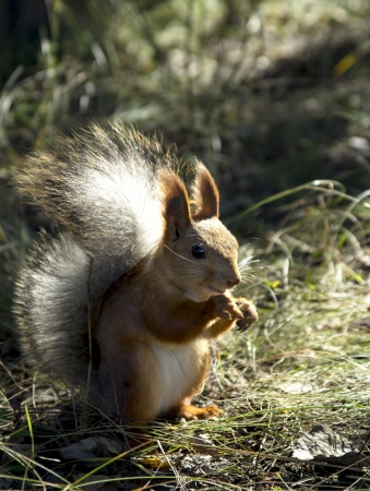 Red squirrel in the woods photo