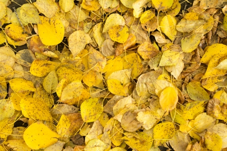 yellow leaves in autumn photo